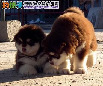出售郑州顶级熊版巨型阿拉斯加 骨量大血统好 绝对家养