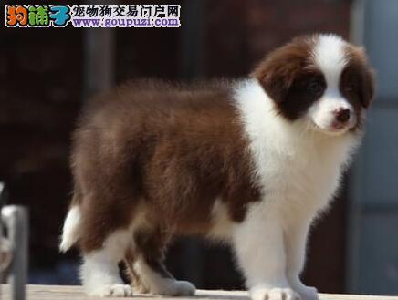 家养多只天津边境牧羊犬宝宝出售中可刷卡可视频