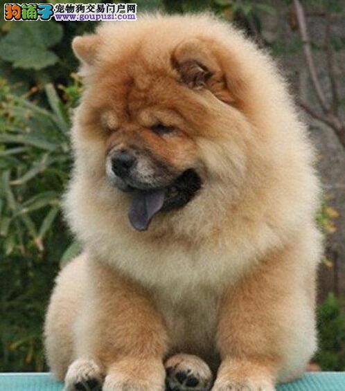 出售自家繁殖松狮宝宝可视频可来家选看