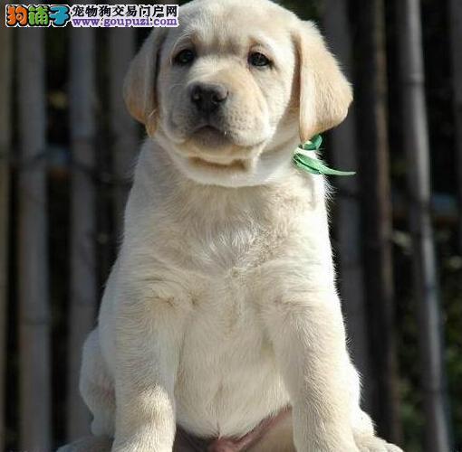 十堰专业的拉布拉多犬舍终身保健康国际血统认证