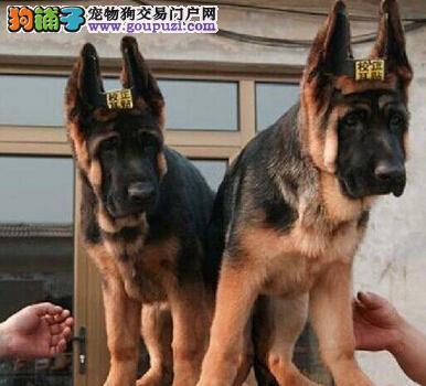 出售多只优秀的德国牧羊犬天津可上门赛级品质保障