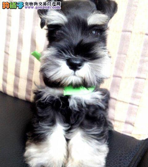 出售赛级雪纳瑞 自家繁殖保养活 购犬可签协议