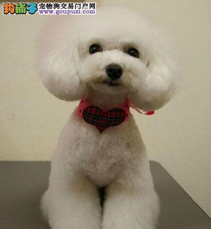点击有礼_出售纯种韩版玩具泰迪_包质量健康