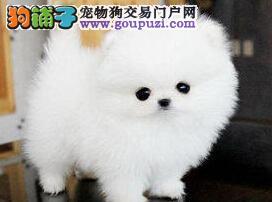 青岛实体店面出售博美犬 哈多利球形俊介血系均有