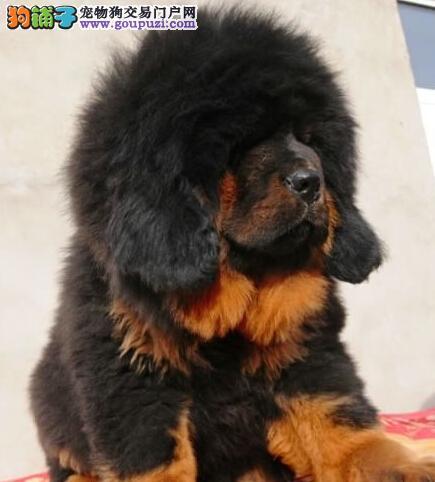 藏獒石河子专业狗场繁殖出售 健康强壮 骨骼量足 超棒