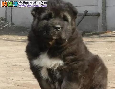 吐鲁番实体狗场低价出售原生态血系的高加索犬 非诚勿扰