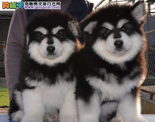 专业正规犬舍热卖优秀的郑州阿拉斯加犬国外引进假一赔百