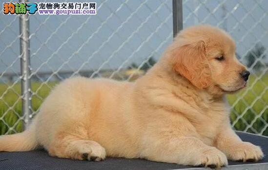 有漂亮大头黄金猎犬金毛幼犬长沙出售 公母都有 健康