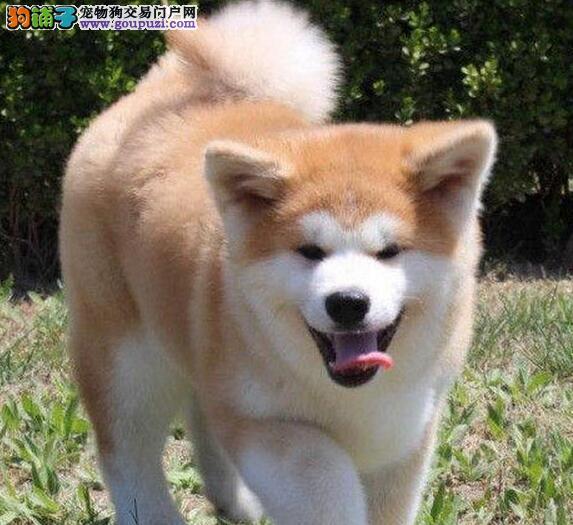 养殖基地繁殖的南京秋田犬找新主人 血统保证信誉保证