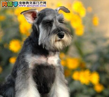 白胡子小老头品相的阳泉雪纳瑞幼犬低价优惠出售中