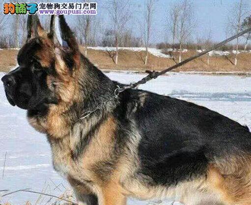 大黑背大黑头方脸重庆德国牧羊犬出售中 实体店面挑选