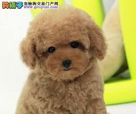 完美品相血统纯正苏州泰迪犬出售保障品质售后