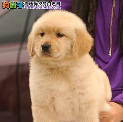 新新宠物出售金毛BB,喜欢的朋友来看看哈