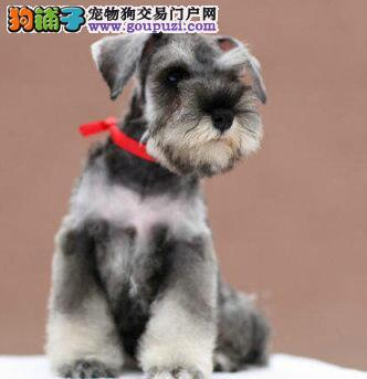 出售雪纳瑞公母都有品质一流微信咨询看狗