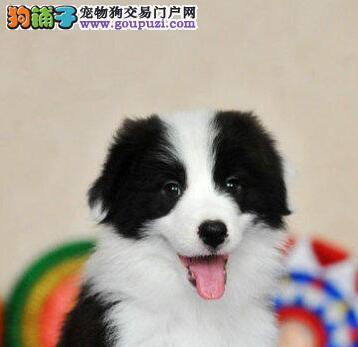 犬舍直销广州边境牧羊犬有实体店带血统证书