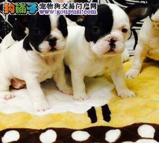 济宁犬舍出售纯种斗牛犬经典海盗眼公母均有