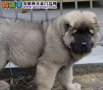 俄罗斯引进纯种高加索种犬繁育霸气十足高加索幼犬出售