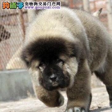 吐鲁番狗场直销好品质高加索犬 可办理血统证书