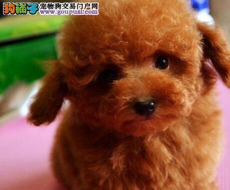 杭州狗场直销好品相的泰迪犬颜色多只可上门看狗