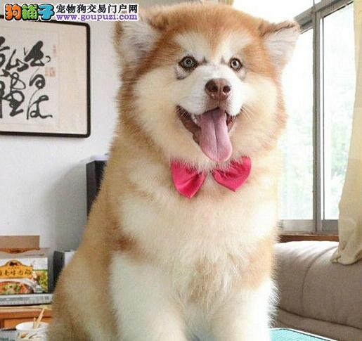 信誉犬舍出售双十字成都阿拉斯加雪橇犬 疫苗已做齐