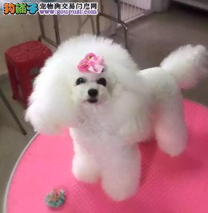 桂林专业繁殖基地出售1~3窝的贵宾犬 喜欢可上门看看