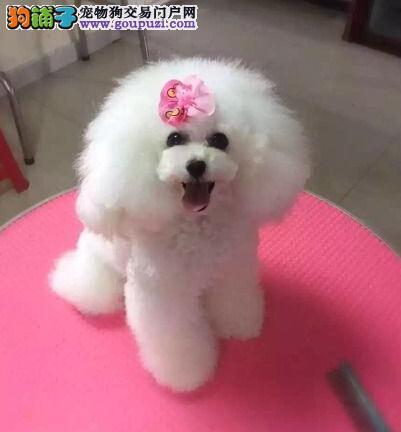 100%纯种健康的成都贵宾犬出售微信咨询看狗