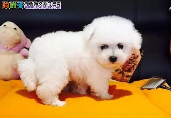 石家庄专业繁殖基地出售比熊犬 可直接上门选购看种犬