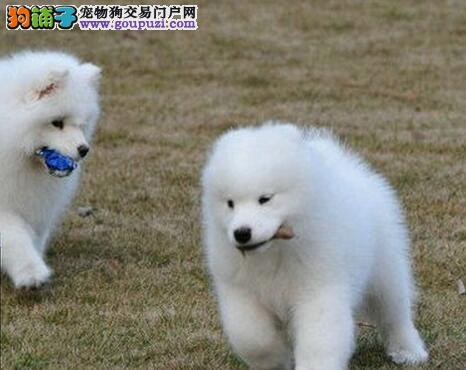 出售纯种健康的萨摩耶幼犬终身质保终身护养指导