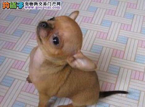 极品吉娃娃幼犬,三针齐全保健康,签协议可送货