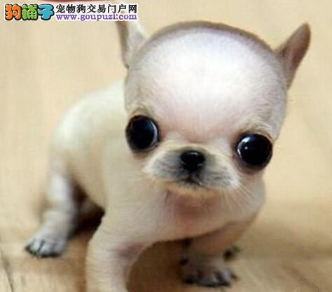洛阳繁殖基地售大眼睛苹果头的吉娃娃幼犬 狗贩子勿扰