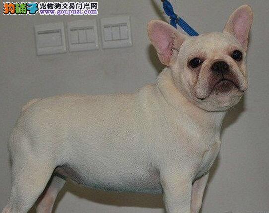 纯种法国斗牛犬 随时微信看狗 上海本地可随时上门