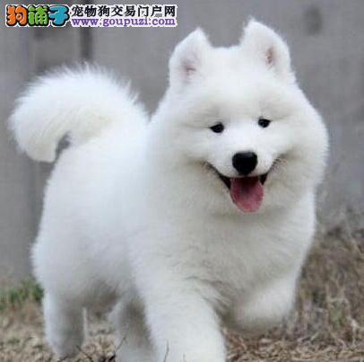 黔西南州出售极品萨摩耶幼犬完美品相CKU认证绝对信誉保障