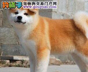 多种颜色的秋田犬找爸爸妈妈国际血统证书