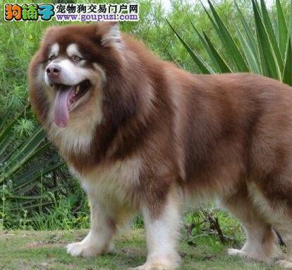 出售聪明伶俐的阿拉斯加幼犬 阿拉斯加好不好养活