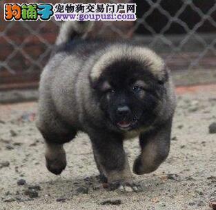 CKU认证犬舍 专业出售极品 高加索幼犬签订终身协议