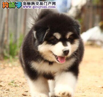 低价直销武汉阿拉斯加雪橇犬 双十字品相好保健康