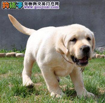 高品质的赛级拉布拉多幼犬出售中 徐州市内可送货