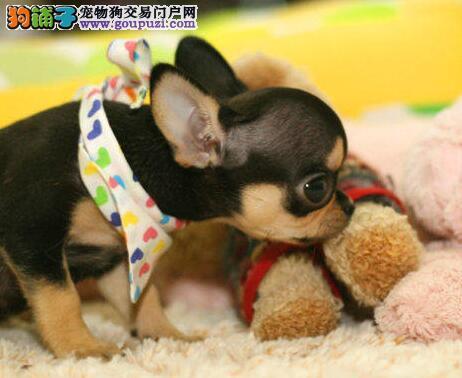 赛级品相吉娃娃幼犬低价出售全国十佳犬舍