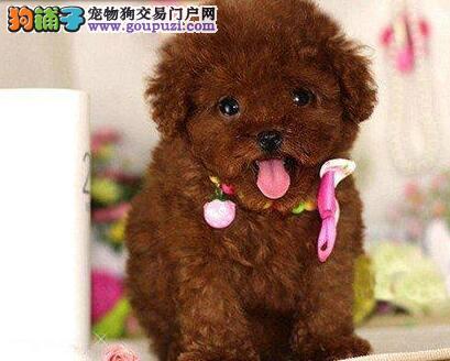 齐齐哈尔家养多只泰迪犬热卖可爱型小卷毛