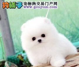 自家狗场繁殖出售南阳博美犬 白色黄色都有 公母都有