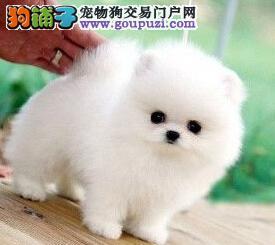 杭州哪有卖博美犬 杭州哪卖纯种哈多利博美幼犬 价格