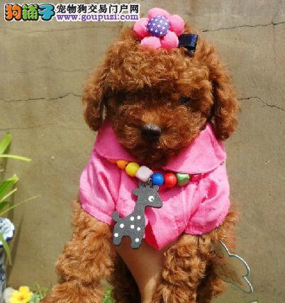 专业犬舍温州出售巨型贵宾犬 纯种带血统 可视频发货哦