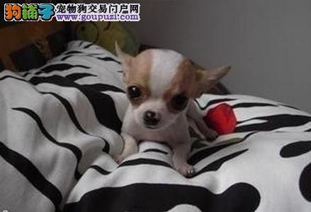 吉娃娃哪里买,吉娃娃上海松江有好的养殖基地出售吗
