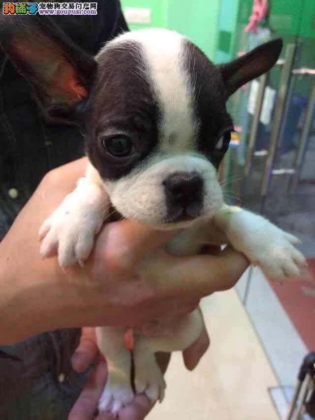 上海养殖基地常年繁殖不同颜色的法国斗牛幼犬出售