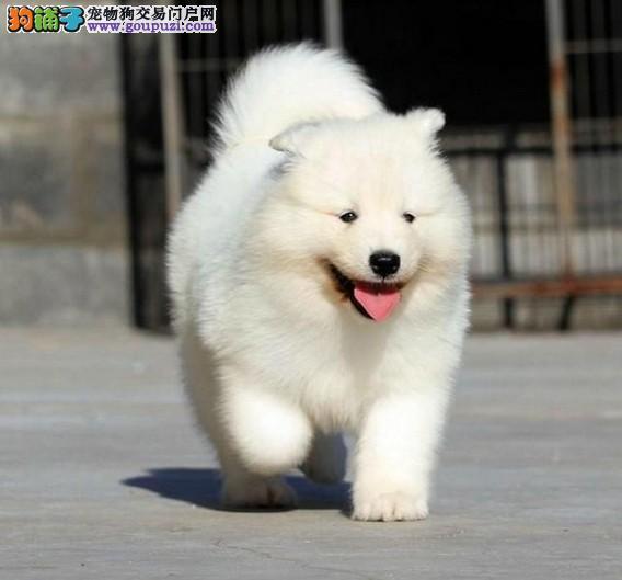 纯白澳版萨摩耶幼犬常年繁殖出售中喜欢的快快联系