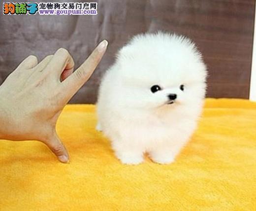 博美幼犬上海正规犬舍繁殖出售最大的宠物犬培育基地