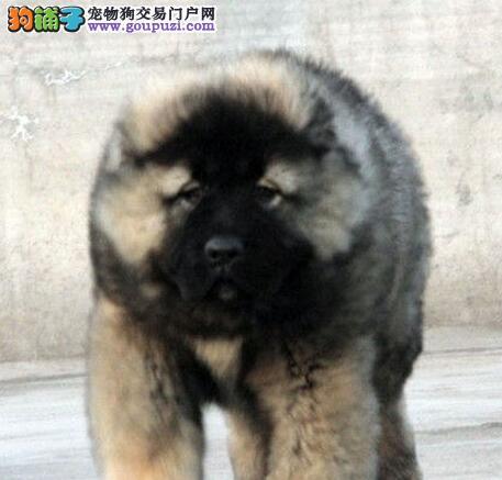 吐鲁番热销纯种高加索犬 权威血统质保出售全国包邮