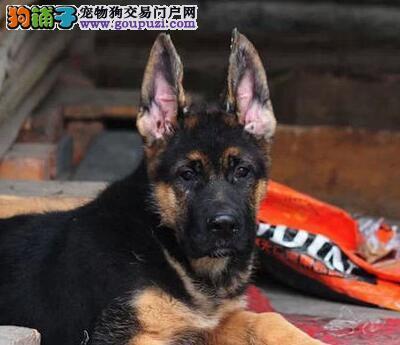 出售极品德国牧羊犬幼犬完美品相国际血统认证