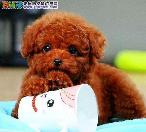 出售纯种成都泰迪犬颜色纯正 保健康包活