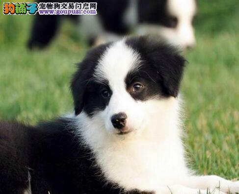 家养多只天津边境牧羊犬宝宝出售中国际血统认证